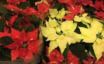Vianočné ruže - Flora Shop Ateliér - kvetykytice.online